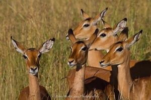 Watchfu Impalas