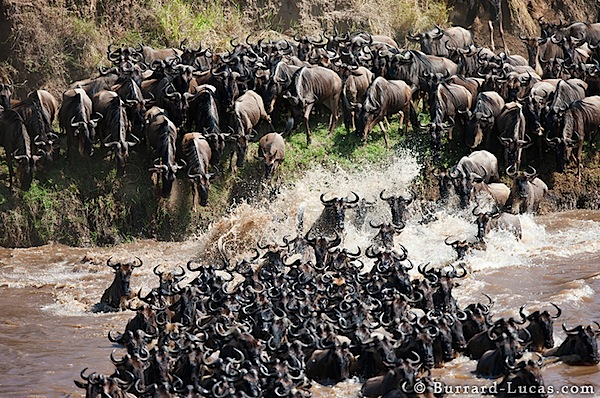 wildebeest_mayhem.jpg
